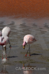 Flamingo andes south america salt lake water.