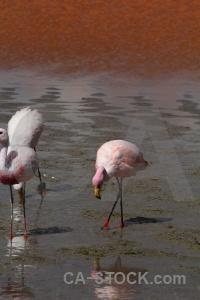 Flamingo andes south america salt lake water.