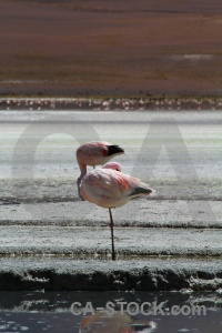 Flamingo laguna hedionda bolivia salt lake.