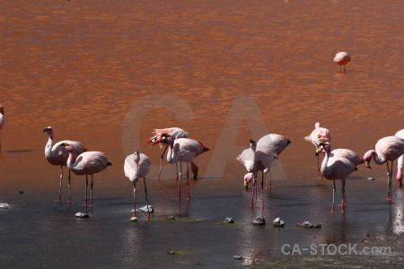 Flamingo lake animal south america andes.
