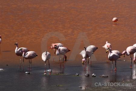 Flamingo lake animal south america andes.