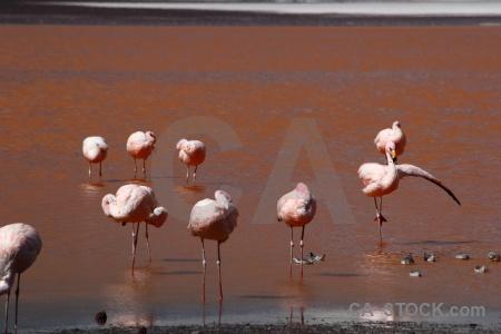 Flamingo sandpiper bird laguna colorada water.