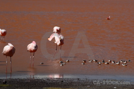 Flamingo south america water altitude andes.
