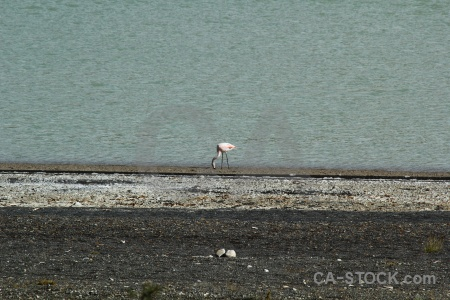 Flamingo stone water patagonia bird.