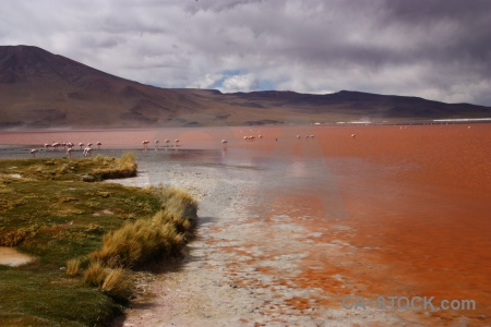Flamingo water andes bird south america.