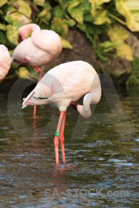 Flamingo water aquatic pond bird.