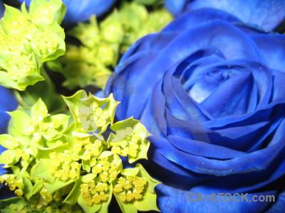 Flower blue rose green yellow.
