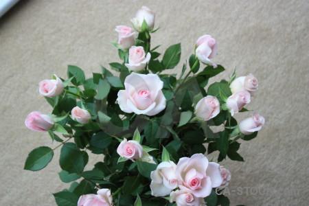 Flower gray green plant rose.