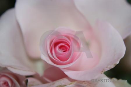 Flower gray rose plant pink.