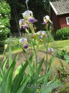 Flower green plant iris.