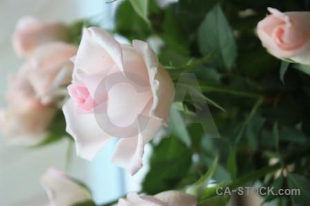 Flower green rose plant.
