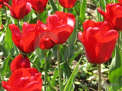 Flower green tulip red plant.
