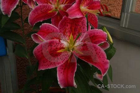 Flower karlskrona lily plant sweden.