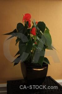 Flower orange brown pot plant.