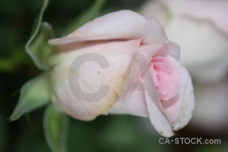 Flower pink green plant rose.