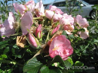 Flower pink green rose plant.
