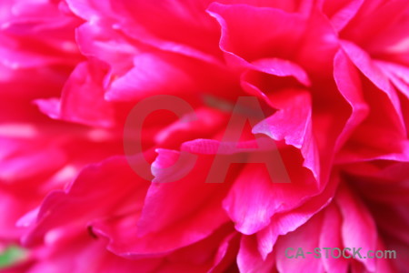 Flower plant peony pink red.