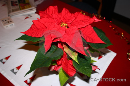 Flower plant red green christmas.