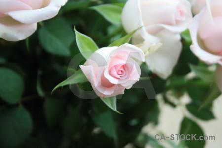Flower plant white rose green.