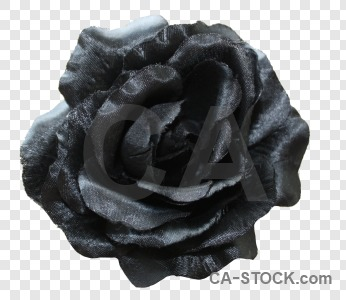 Flower rose black plant cut out.