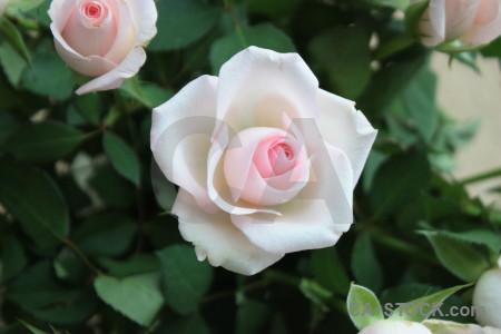 Flower rose green plant.