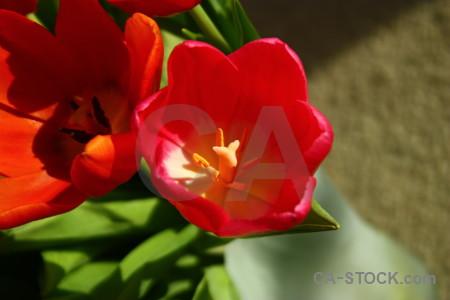 Flower tulip green red orange.