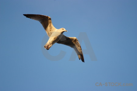 Flying bird animal seagull sky.