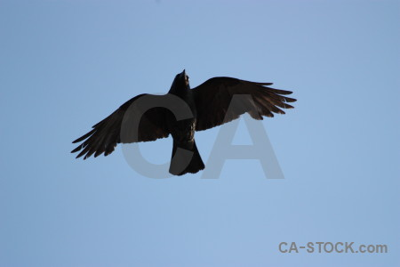 Flying bird jackdaw animal sky.