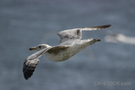 Flying bird seagull animal.