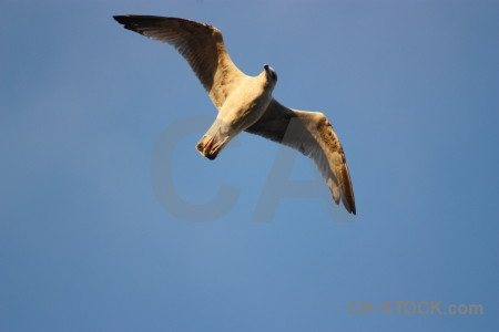 Flying bird seagull animal sky.