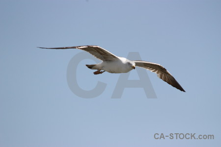 Flying bird seagull animal sky.