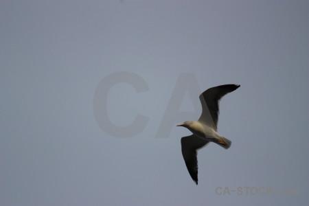 Flying bird seagull sky animal.