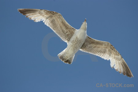 Flying bird seagull sky animal.
