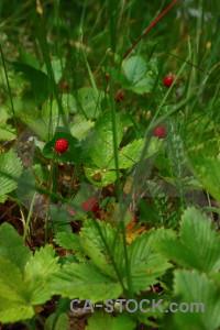Food plant fruit strawberry flower.