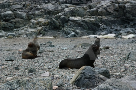 Fur seal antarctica cruise day 6 rock horseshoe island.