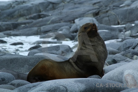 Fur seal stone antarctica animal dorian bay.