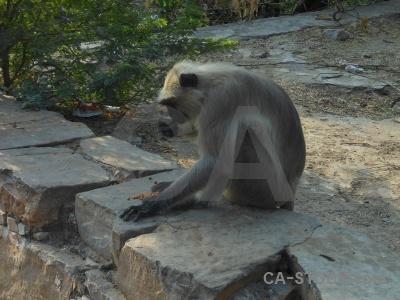Galtaji monkey asia south tree.