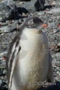 Gentoo antarctic peninsula chick petermann island south pole.