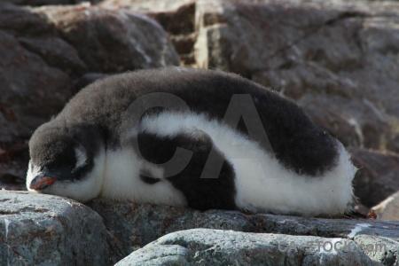 Gentoo antarctic peninsula day 8 chick petermann island.