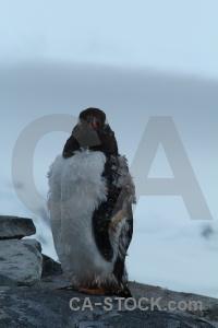 Gentoo dorian bay animal wiencke island antarctica cruise.