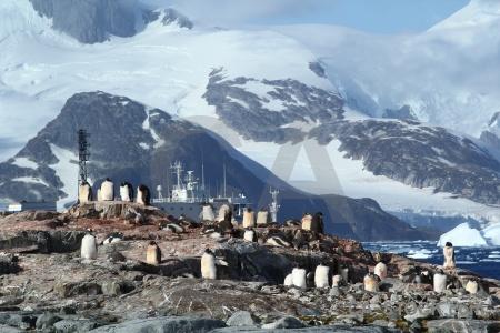 Gentoo ice antarctica cruise rock day 8.