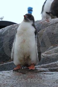 Gentoo neumayer channel penguin day 10 rock.