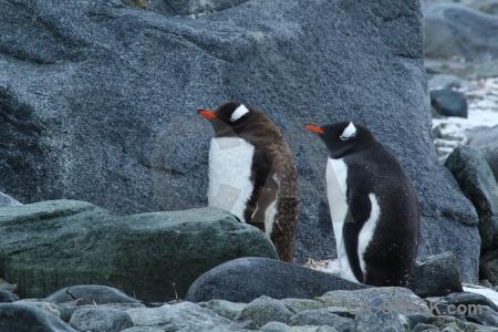 Gentoo palmer archipelago penguin dorian bay antarctica.