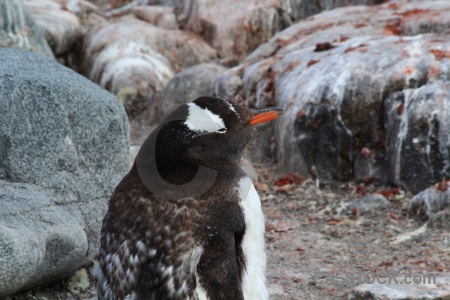 Gentoo penguin antarctic peninsula antarctica cruise animal.