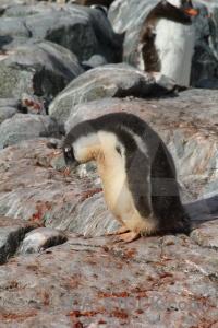 Gentoo rock feces south pole antarctica cruise.