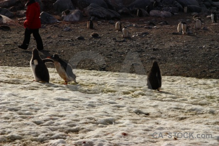 Gentoo rock penguin antarctic peninsula south pole.