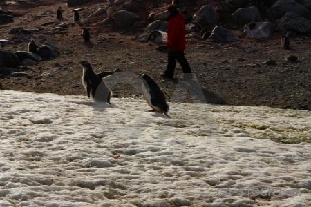 Gentoo south pole antarctic peninsula penguin antarctica cruise.