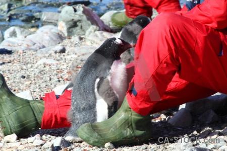Gentoo stone petermann island penguin south pole.