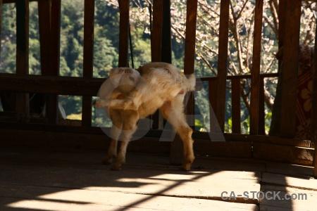 Goat animal annapurna sanctuary trek nepal modi khola valley.