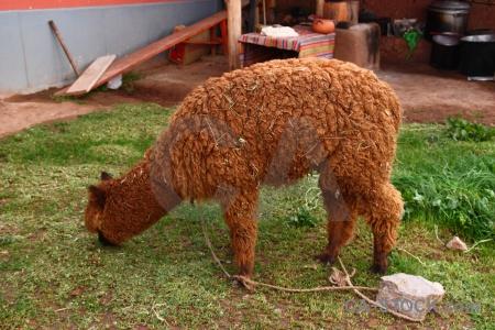 Grass altitude andes alpaca fur.